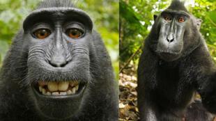 Les selfies du macaque à crête.