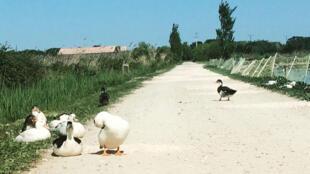 Des canards en Camargue.