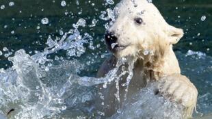 La osita polar Nanuq.