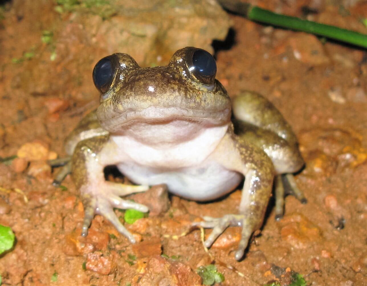 2021_07_29 zimbabwe Atewa Slippery Frog  under threat