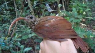 Nova espécie de arapaçu-de-bico-torto foi descoberta no sul do Pará.