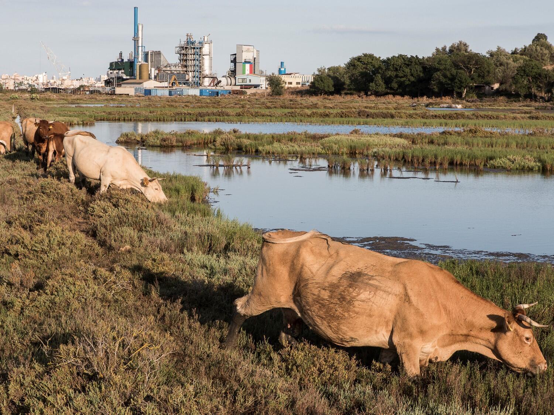Les vaches paissent dans les champs près des salines d'Augusta, à quelques mètres des installations industrielles. La pollution est depuis longtemps attestée. Malgré cela, l'élevage et l'agriculture sont pratiqués.