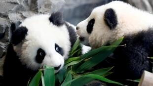 Deux pandas jumeaux photographiés au zoo de Berlin, le 29 janvier 2020.