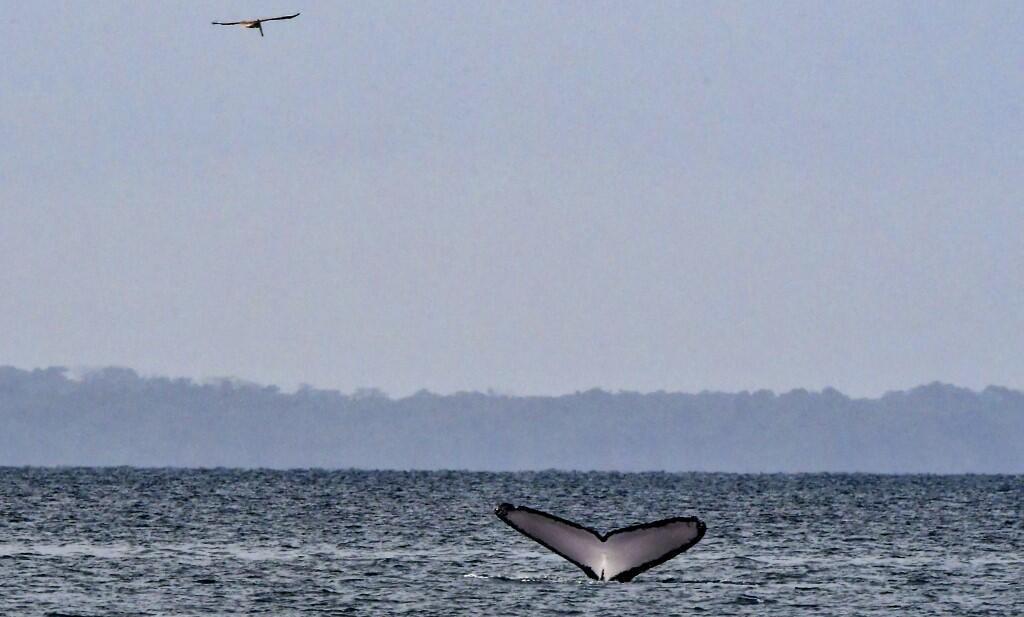 La queue d'une baleine sur l'océan Pacifique, au Panama (image d'illustration).