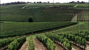 Виноградники региона Бордо