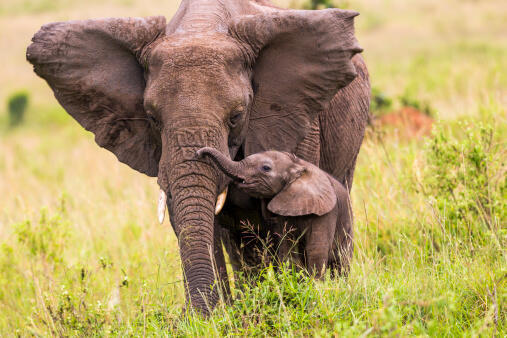 Sur les 350 éléphants recensés, 57 d'entre eux ont été tués depuis le début de l'année dans la région du Gourma.