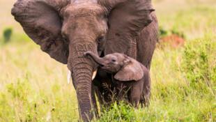 Un éléphant d'Afrique (Kenya) et son éléphanteau.