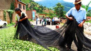 Campesinos secan las hojas de coca en las calles de la ciudad de Asunta.