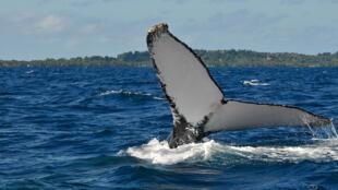 Au large de Sainte-Marie (île sur la côte est de Madagascar), une baleine à bosse déploie sa nageoire caudale.