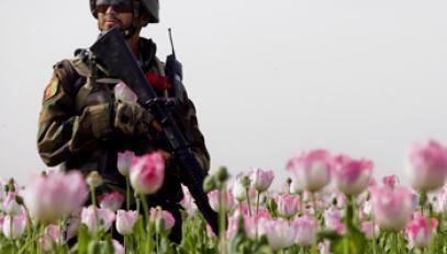 Un membre des forces de sécurité afghanes dans un champ d'opium en Afghanistan.