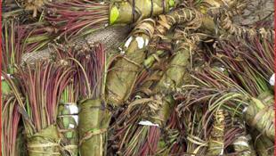 Les feuilles de khat sont attachées pour former des paquets, enveloppés à leur tour dans des feuilles de banane. L'humidité permet de conserver plus longtemps les substances contenues dans le khat : cathine et cathinone, proches de l'amphétamine.