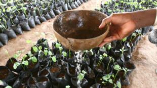 Culture de jatropha dans le village de Gomore, au Burkina Faso.