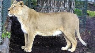 An Asiatic lioness