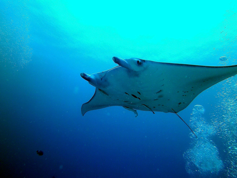 Raie - biodiversité - mer - Manta_in_German_Channel_Palau_(12672994784)