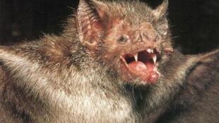 一种类蝙蝠 照片