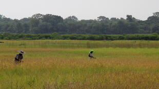 A rice field in Casamance