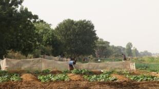 Les champs du village de migrants de Somankidi Coura.