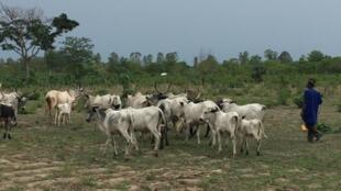 Troupeau de vaches au Bénin.