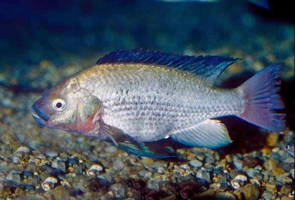 """Le succulent """"Singidia Tilapia Oreochromis"""" originaire des lacs Victoria et Kyoga, est considéré comme disparu à cause des poissons prédateurs qui y ont été introduits."""