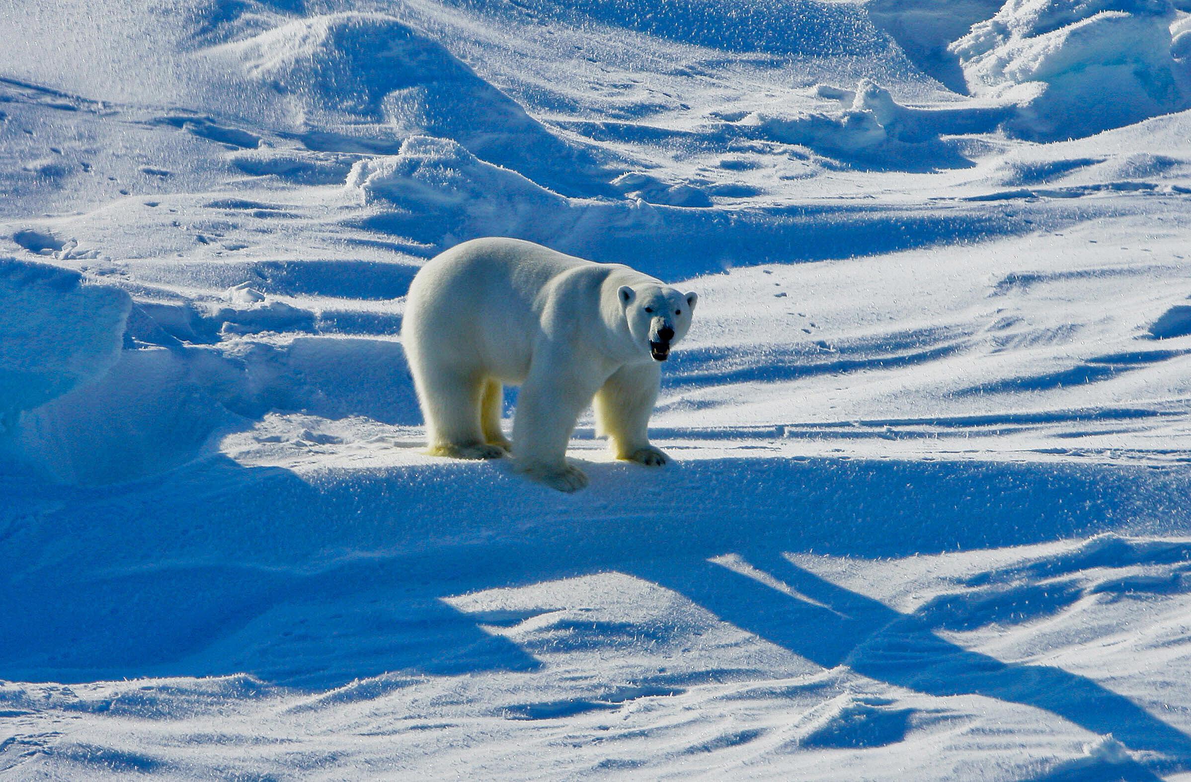 Un ours polaire en Alaska photographié en 2009.