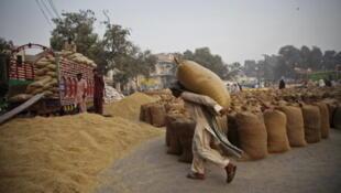 Récolte de riz dans la région du Pendjab.
