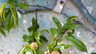 Персиковые стены в парижском пригороде Монтрее