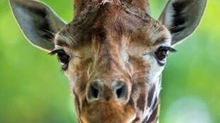 Icône de l'Afrique, l'animal terrestre le plus grand a perdu 40% de son effectif ces trente dernières années.