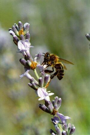Ouvrière d'abeille domestique (apis mellifera) en butinage sur lavande.
