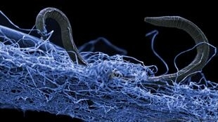 Nematodes from the deep