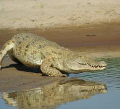 La présence de crocodiles sauvages en plein-ville à Bissau inquiète la population (image d'illustration).