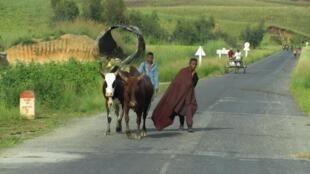 Sur la route de Miandrivazo, des éleveurs de zébus.