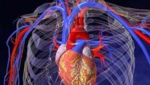 L'aorte est la plus grosse artère du corps humain.