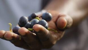 Au Sénégal, à Dakar, deux Français ont décidé de se lancer dans la production de vin.