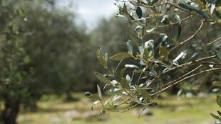 Une branche d'olivier de la région des Pouilles, en Italie.