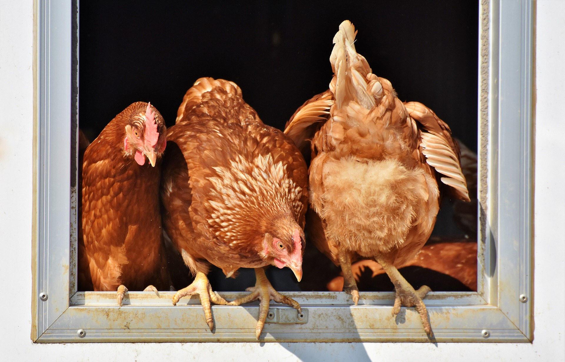 Produtores de aves são o próximo alvo de campanhas na França contra o uso da soja proveniente de área de desmantamento.