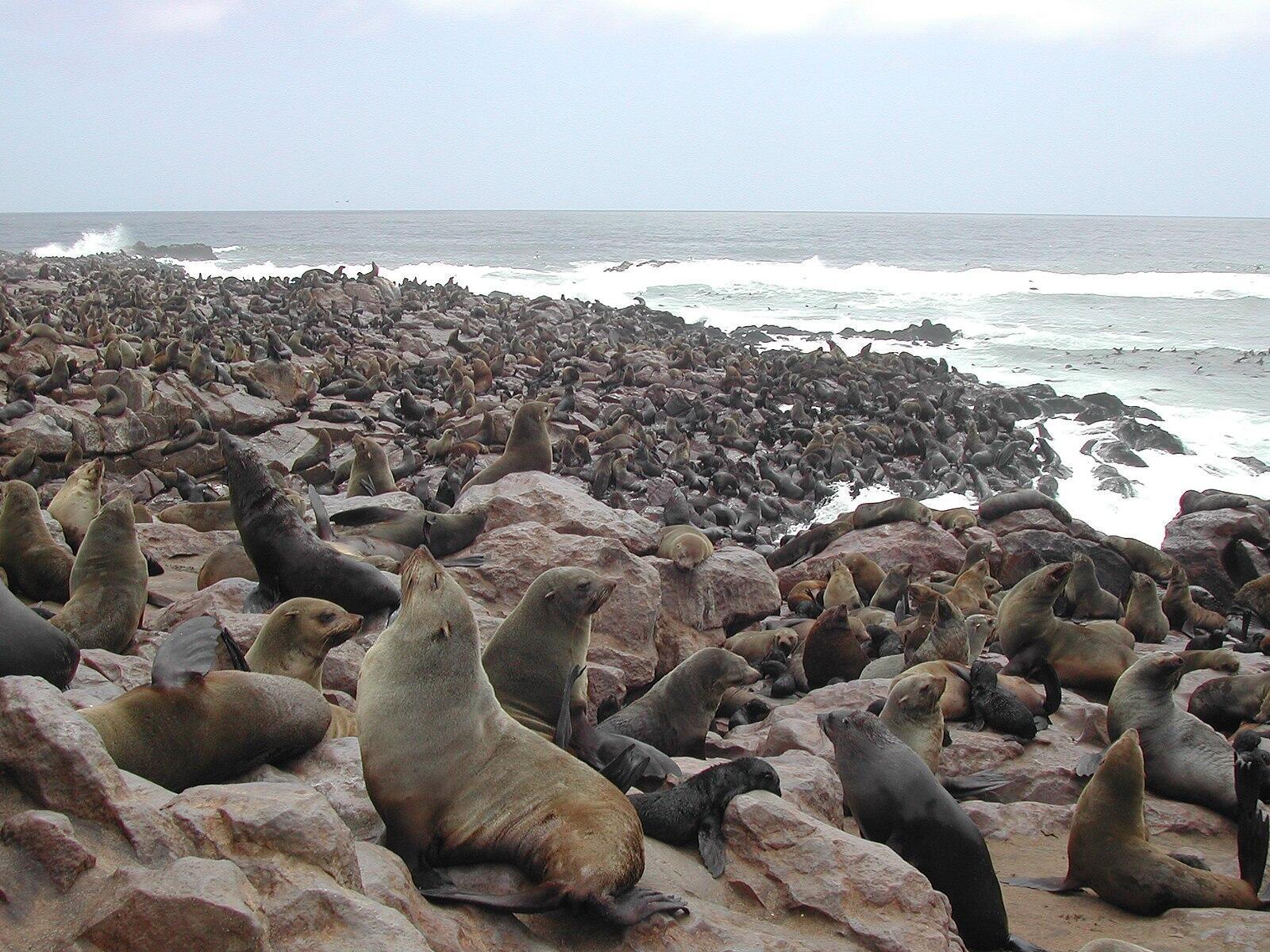1600px-Cape_Fur_Seals_Cape_Cross