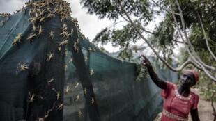 Photo prise à Kapese, Lokichar, comté de Turkana, Kenya, le 9 juin 2020. Environ cinq cent milliards de criquets ont été éliminés en Afrique de l'Est, depuis le début de l'année, selon la FAO.
