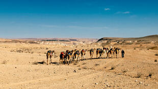 Un bédouin conduisant un troupeau de chameaux dans le désert de Néguev.