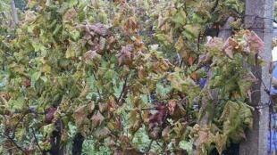 Vines affected by flavescence dorée