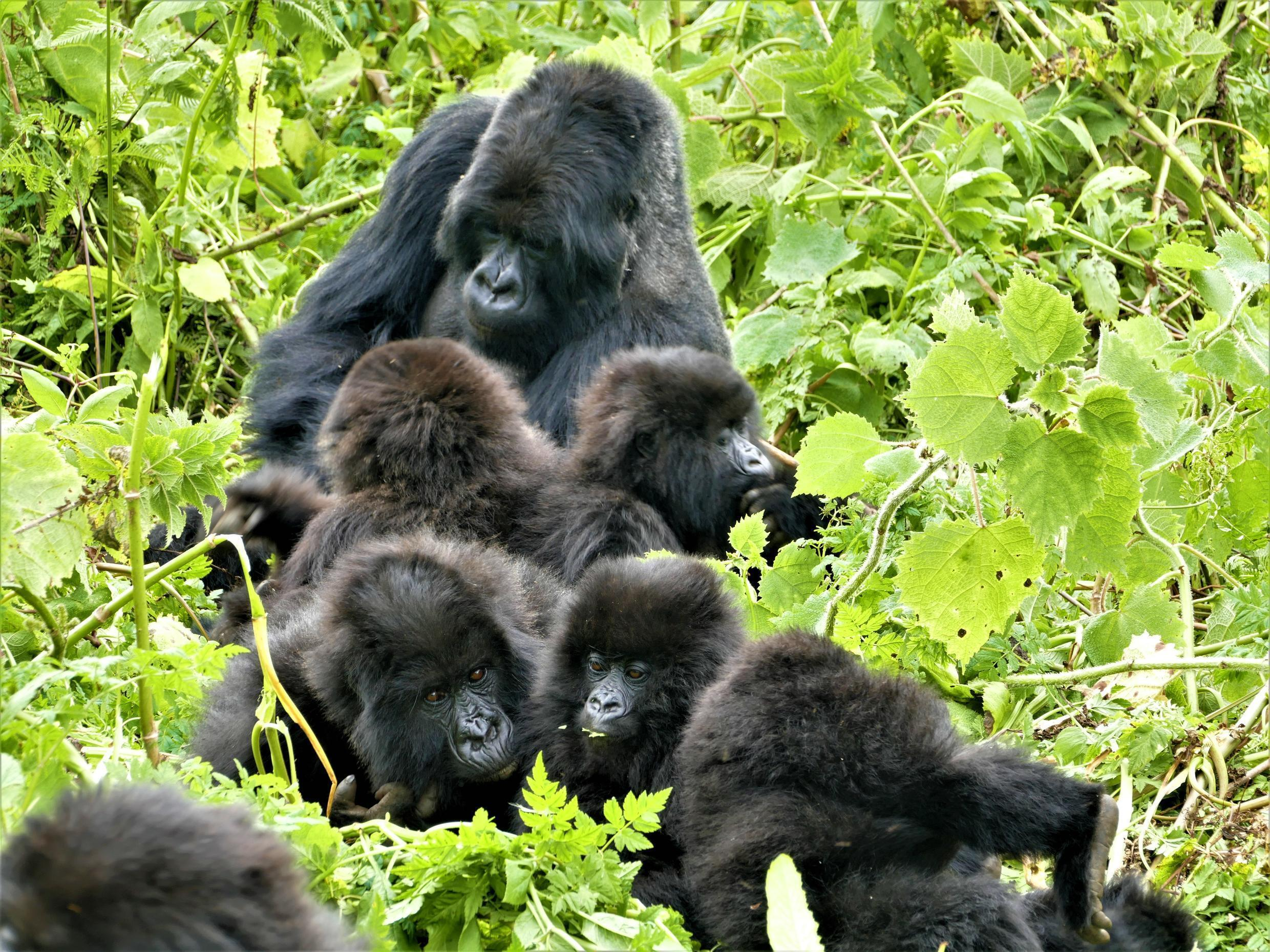 Dominant male gorilla Kubaha babysitting his young charges, including orphans, in Rwanda, 2017.