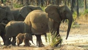 Este mês, foram apreendidas 3,5 toneladas de 867 pontas de marfim de elefantes.
