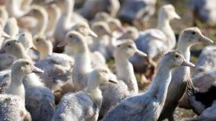 HEALTH-BIRDFLU-FRANCE - canards - grippe aviaire