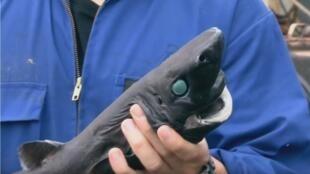 Capture d'écran, The Lantern Shark Glows in the Dark   Alien Sharks, vidéo en ligne sur Youtube. https://www.youtube.com/watch?v=FAFQ181E5aU