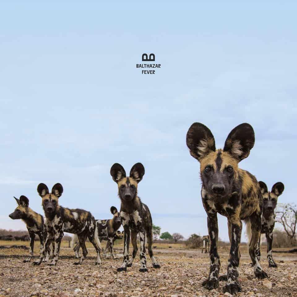 La pochette de l'album «Fever» de Balthazar.