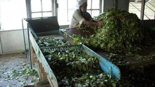 Le Sri Lanka fait partie des principaux pays exportateurs de thé dans le monde.