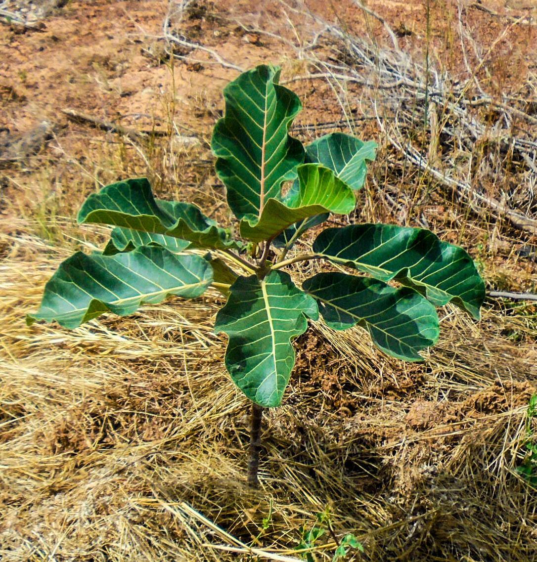 Grâce à la technique de régénération naturelle assistée (RNA), un arbre a pu voir le jour.