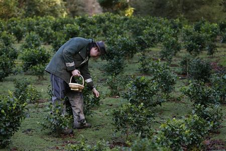Wesley Goldsworthy picks tea leaves at the Tregothnan Estate in Cornwall