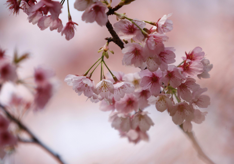 日本國花櫻花