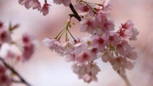 日本国花樱花