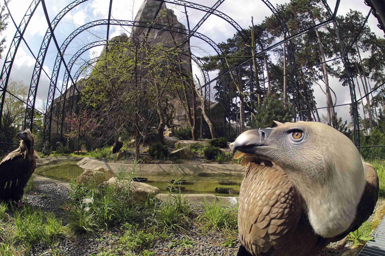 Des vautours au zoo de Vincennes, le 8 avril 2014.